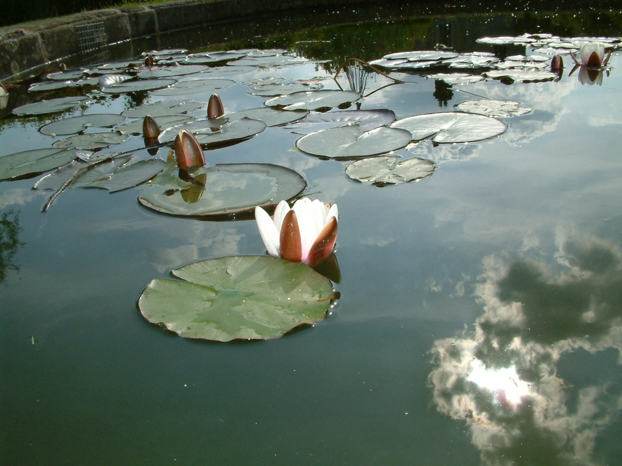 Lilly-Pond